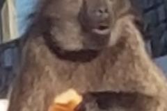 201911_baboon3
