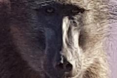201911_baboon6